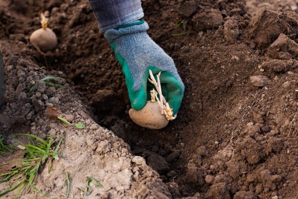 Когда сажать картошку в 2020 году по лунному календарю, по народным приметам: благоприятные дни для посадки картофеля в марте, апреле, мае, июне, сроки посадки согласно луны