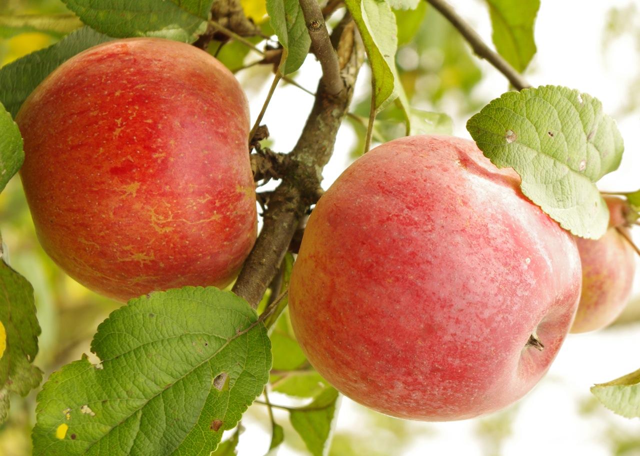 Яблоки для Ленинградской области