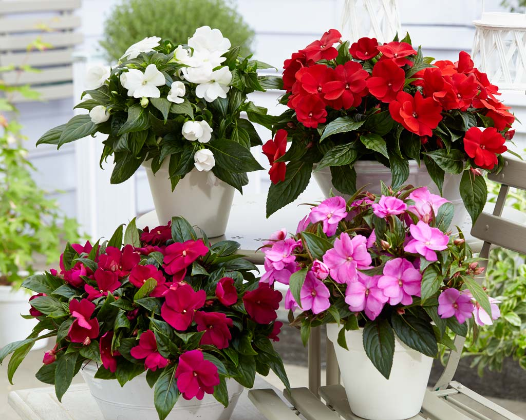 Осел, красивые цветущие комнатные растения фото и названия