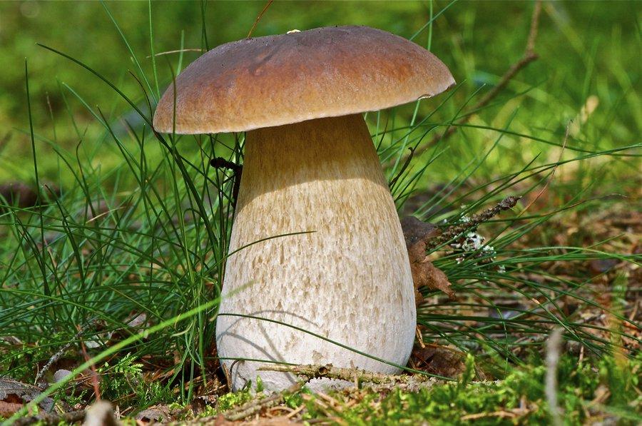 Белый польский гриб