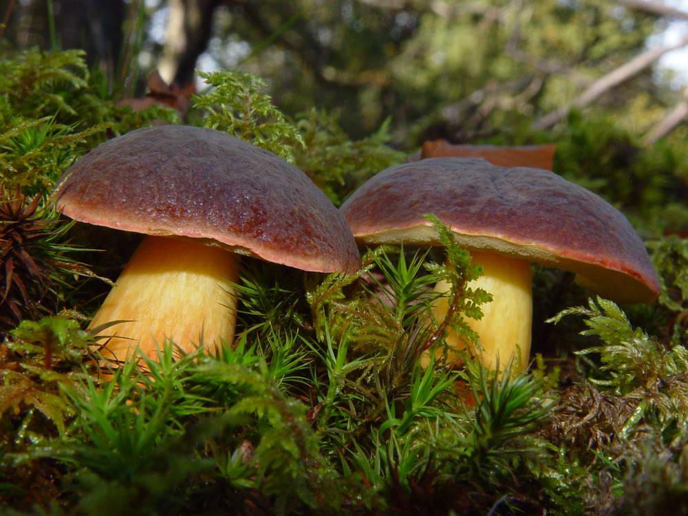 Как выглядят польские грибы