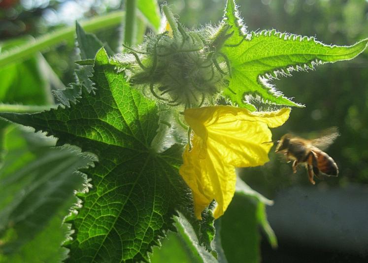 пчела на огурцах