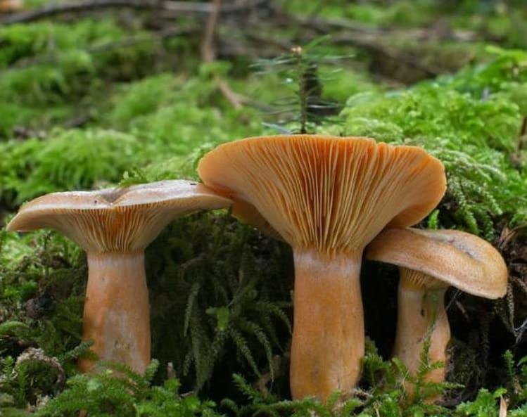 гаркуша гриб фото и описание