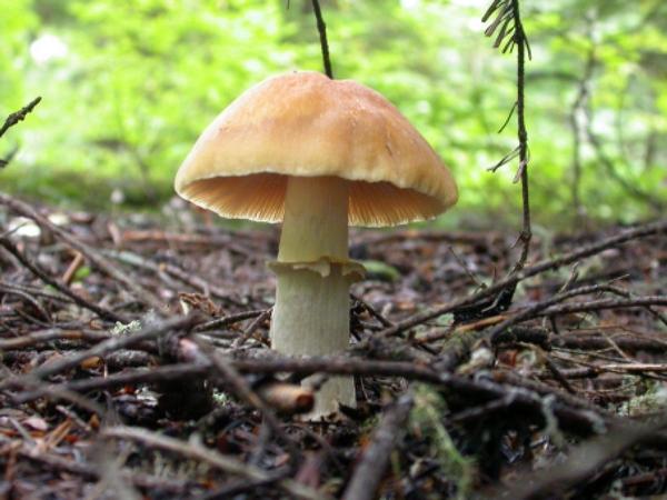 Описание грибов
