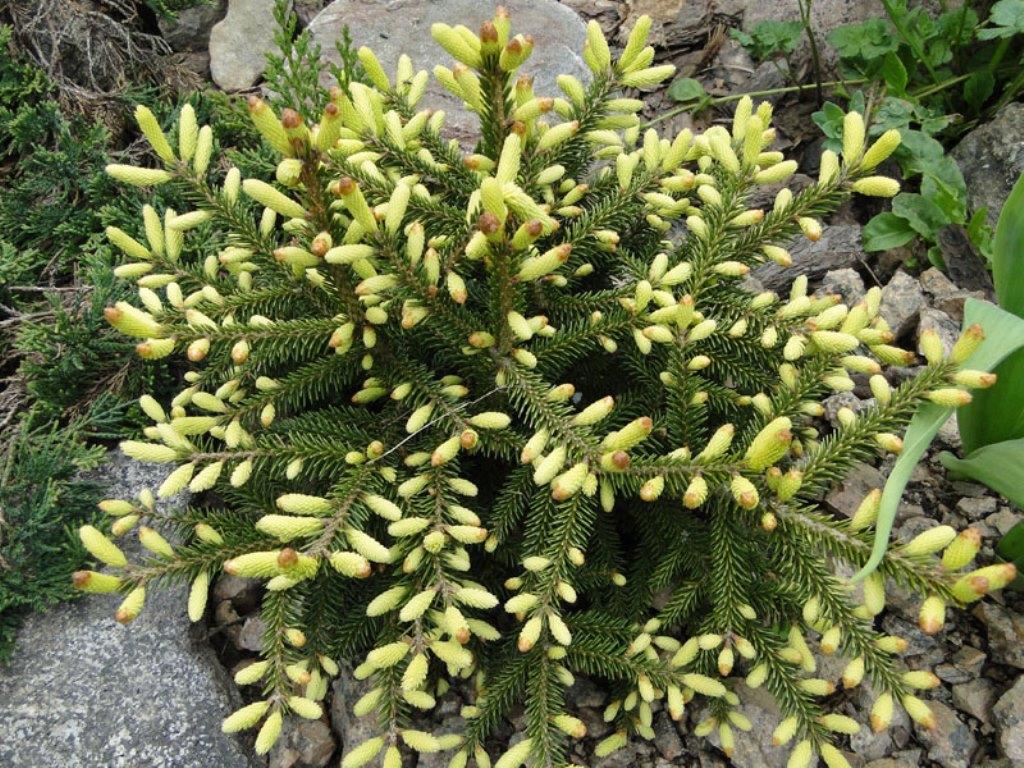 Карликовая ель Гоблин
