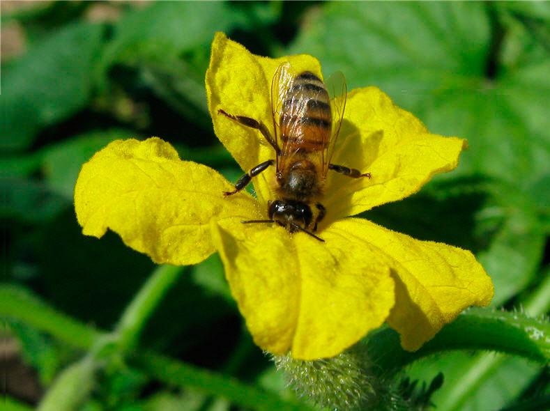 Опыление Пчелами
