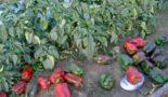 Когда высаживать перец в открытый грунт