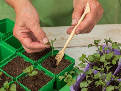 когда солить капусту на рассаду в 2021