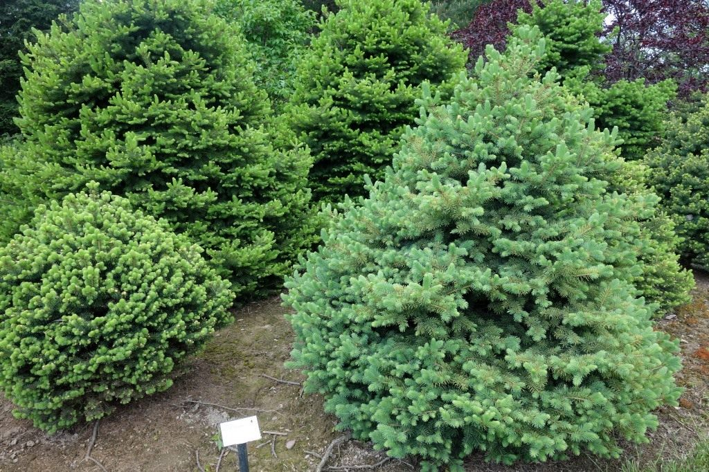 Разновидностей елок