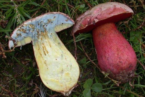 Мякоть гриба