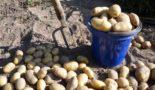 выкапывать картошку