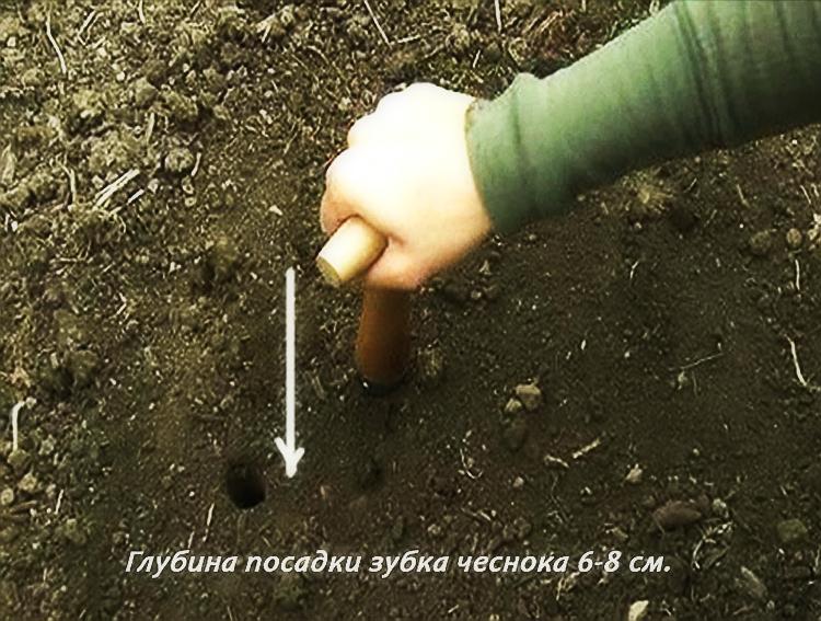 посадка чеснока на небольшую глубину