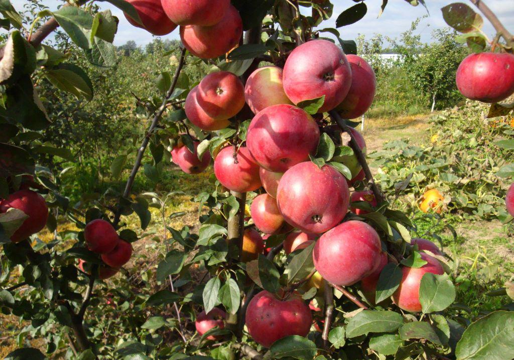 яблоня на Урале