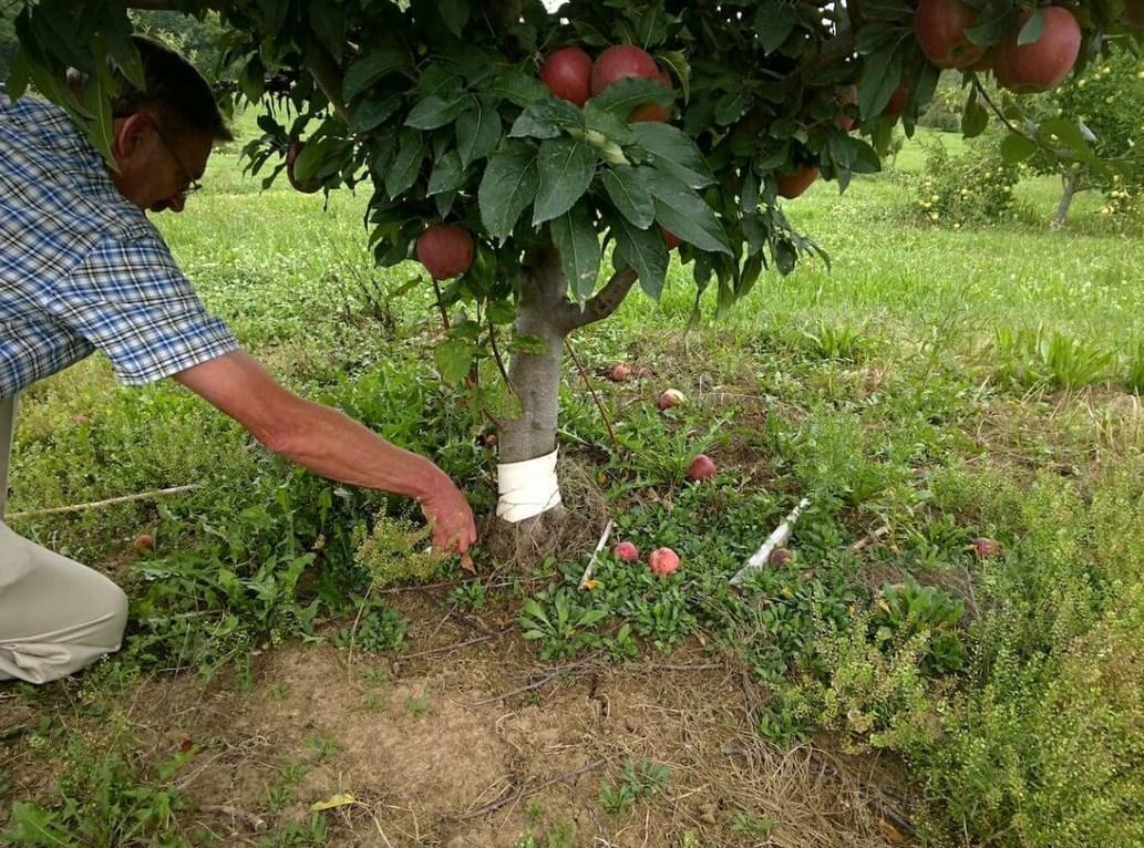 Пересадка яблони