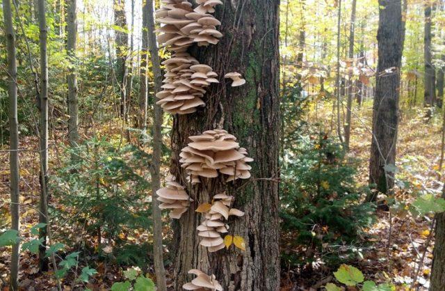 Вешенки на дереве