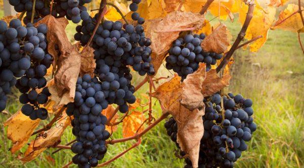 Как утеплять виноград первый год на зиму