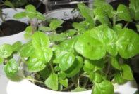 Когда сажать Агератум на рассаду в 2020 году по лунному календарю чтобы зацвели в мае: сроки посадки Агератум на рассаду в разных регионах, благоприятные дни в таблице по месяцам, выращивание цветка из семян