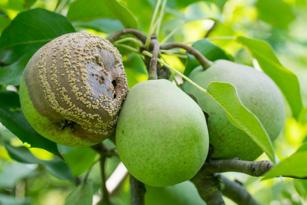 Почему гниют и трескаются груши на дереве, возможные заболевания и вредители, нарушения ухода как одна из причин и способы борьбы с проблемой
