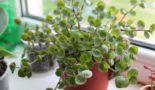 Растение Коллизия: виды и сорта с фото, приметы и суеверия, выращивание из семян, как ухаживать в домашних условиях, пересадка и размножение