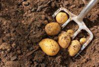 Когда копать картошку в 2020 году по лунному календарю после цветения на хранение в августе, сентябре, в Подмосковье, Сибири, средней полосе России, Московской области и Урале, Омске, Ленинградской области