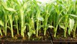 Когда сажать кукурузу на рассаду в 2020 году по лунному календарю в Подмосковье, Ленинградской области, в Сибири и на Урале