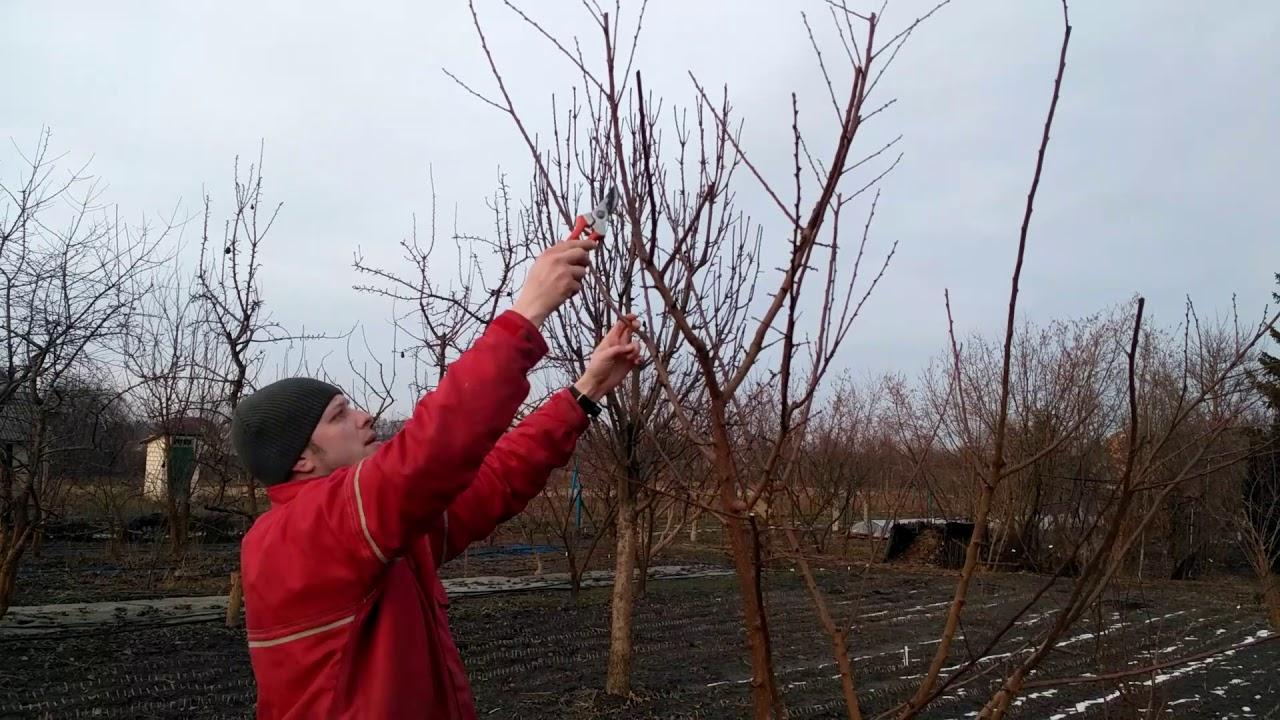 Когда обрезать абрикос весной, оптимальные сроки, выбор схемы стрижки в зависимости от возраста дерева и его типа