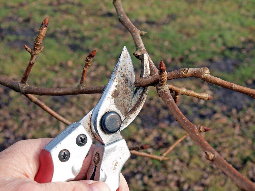 Обрезка колоновидной груши осенью, оптимальные сроки выполнения процедуры, схема в зависимости от возраста дерева и основные правила