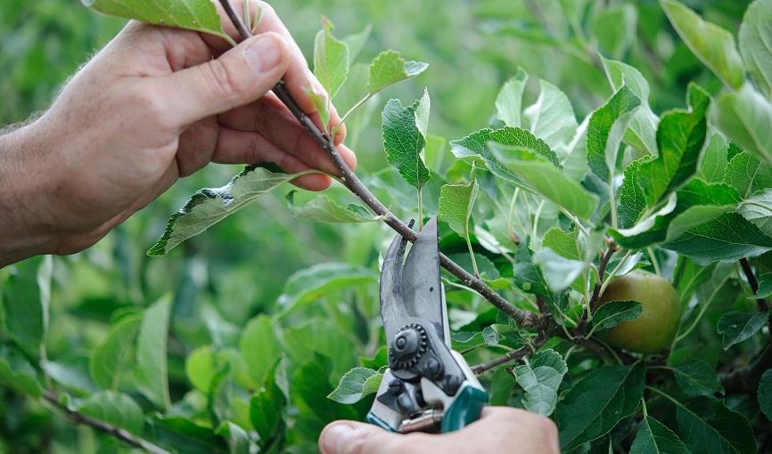 Как омолодить яблоню, цели проведения процедуры, эффективные методы сроки и схемы обрезки, а также особенности обработки старых насаждений