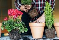 Пересадка комнатных растений по лунному календарю в 2020 году - благоприятные дни в апреле, мае, июне, июле августе, сентябре, октябре
