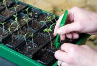 Когда пикировать помидоры после всходов на рассаду в 2020 году - пикировка томатов по лунному календарю в 2020 году в феврале, марте, апреле, мае