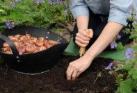 Когда сажать гладиолусы в открытый грунт весной 2020 года по лунному календарю, чтобы зацвели к 1 сентября: благоприятные дни для посева на рассаду, выращивание из семян в домашних условиях