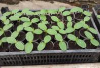 Когда сажать огурцы на рассаду в 2020 году по лунному календарю в Ленинградской области для открытого грунта и теплицы, в апреле, мае, июне