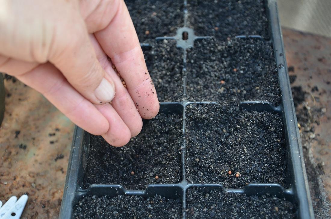 Когда сажать капусту брокколи на рассаду в 2020 году по лунному календарю - благоприятные дни для посева семян капусты на рассаду, когда пикировать, пересаживать