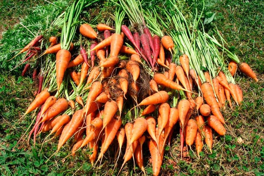 Когда убирать морковь с грядки на хранение в 2020 году по лунному календарю: самые благоприятные дни чтоб выкапывать морковь в Подмосковье и Московской области, на Урале и в Сибири, Ленинградской области