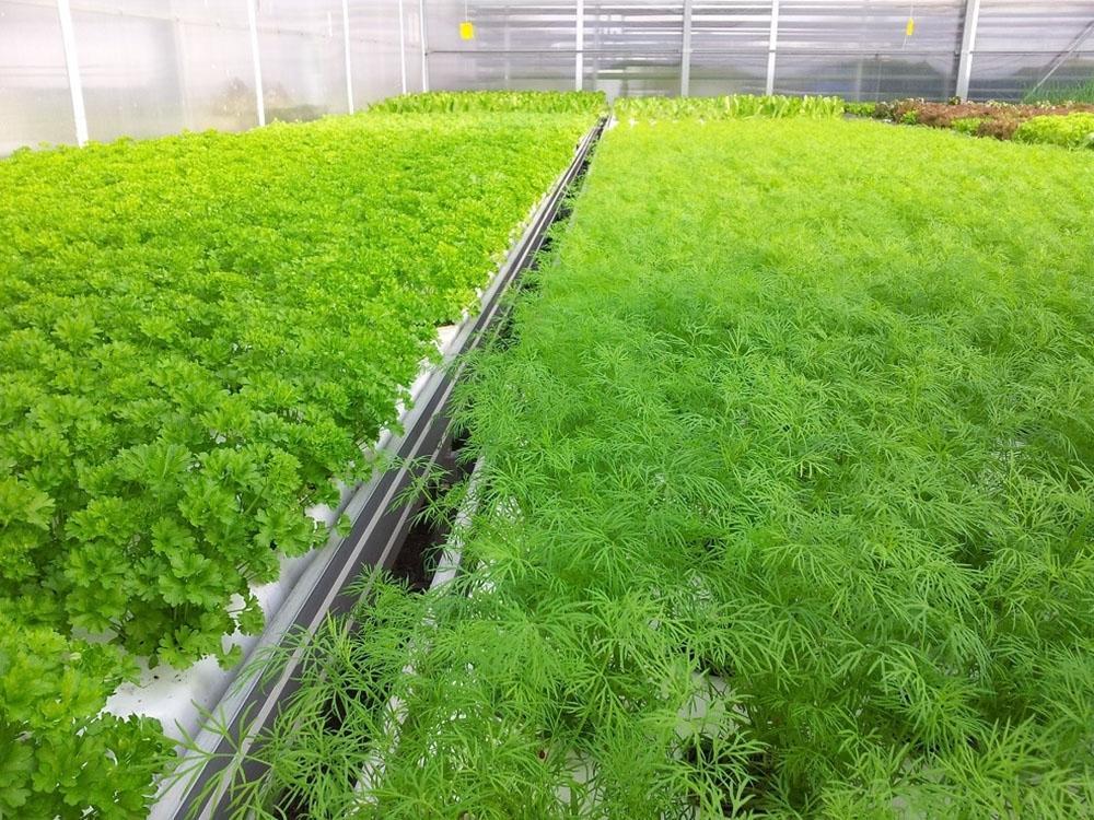 Как вырастить укроп зимой в теплице, видео подготовки почвы к посадке семян, оптимальные сорта для выращивания в закрытом грунте