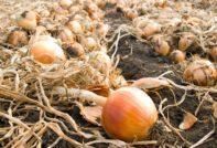 Когда выкапывать репчатый лук из грядки в Сибири в 2020 году по лунному календарю: самые благоприятные дни для сбора урожая по календарю садовода и огородника