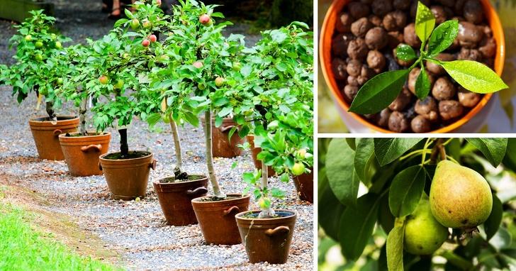 Как вырастить грушу из семечка, вероятность плодоношения дерева, этапы выращивания, начиная от стратификации и заканчивая пересадкой саженца в грунт