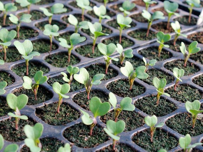как растет брокколи