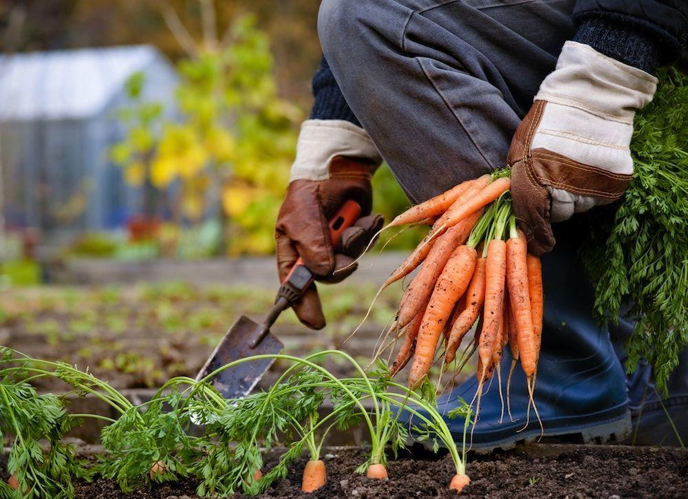 когда собирают морковь