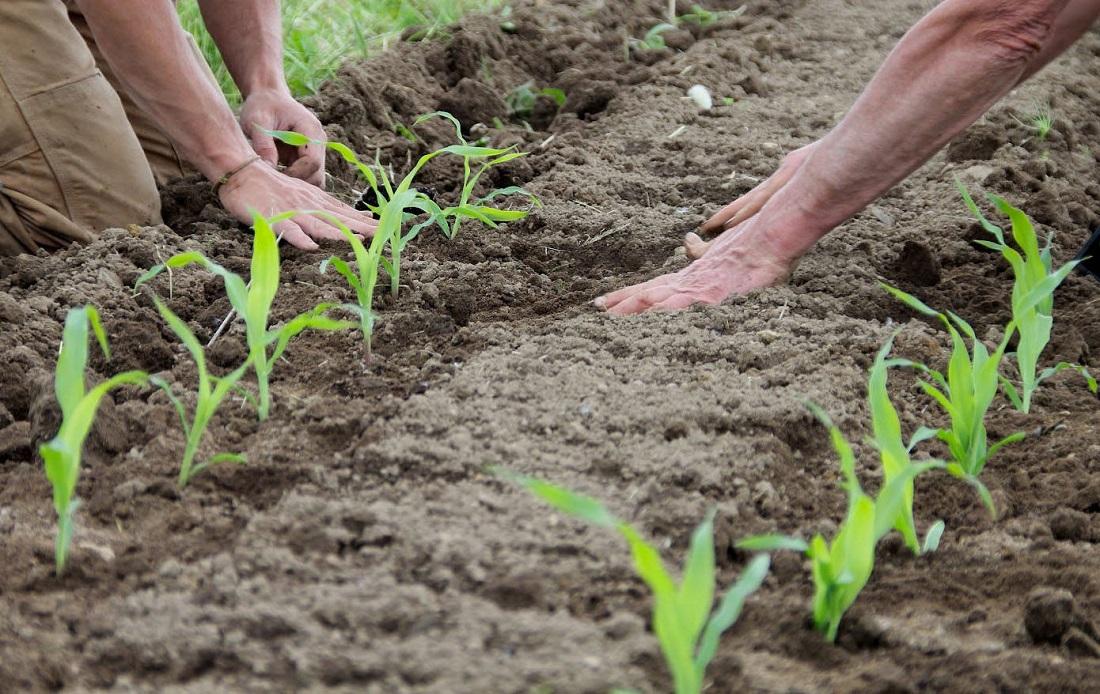 когда высаживать кукурузу в грунт