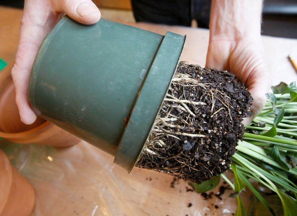как достать растение из горшка