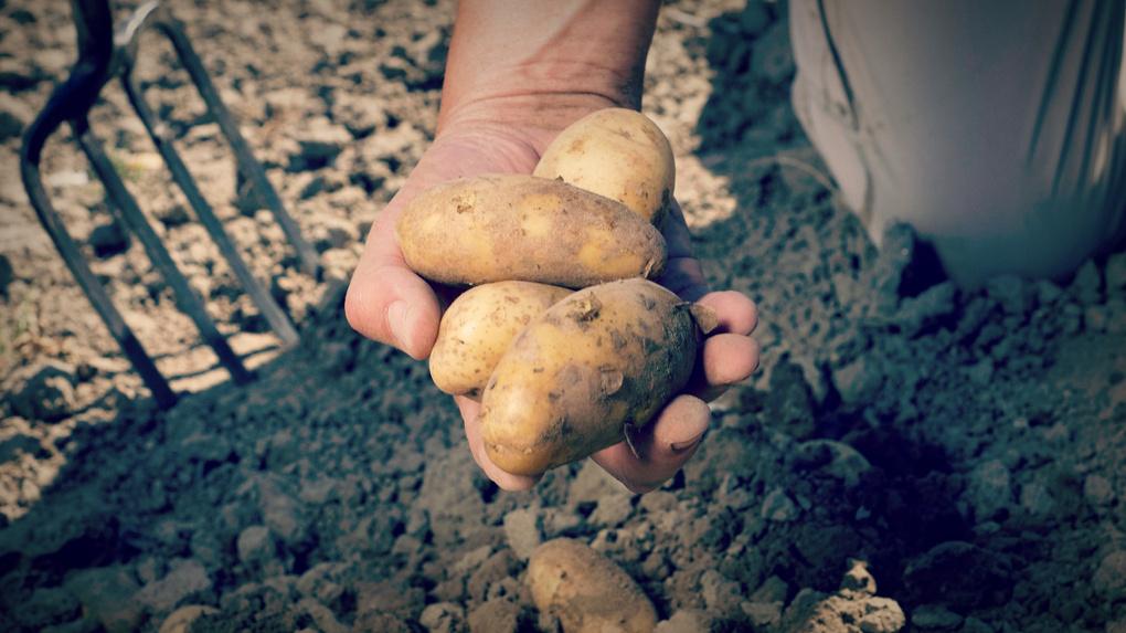 сроки сбора урожая картофеля