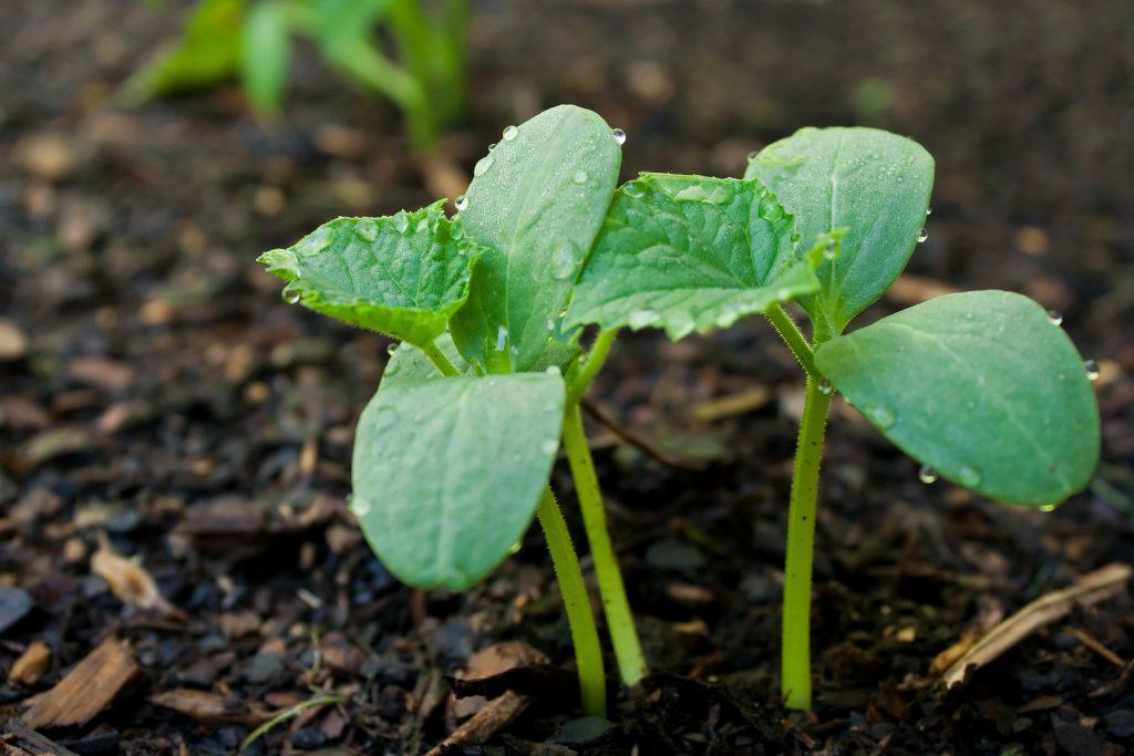 уход за огуречной рассадой после пересадки в грунт
