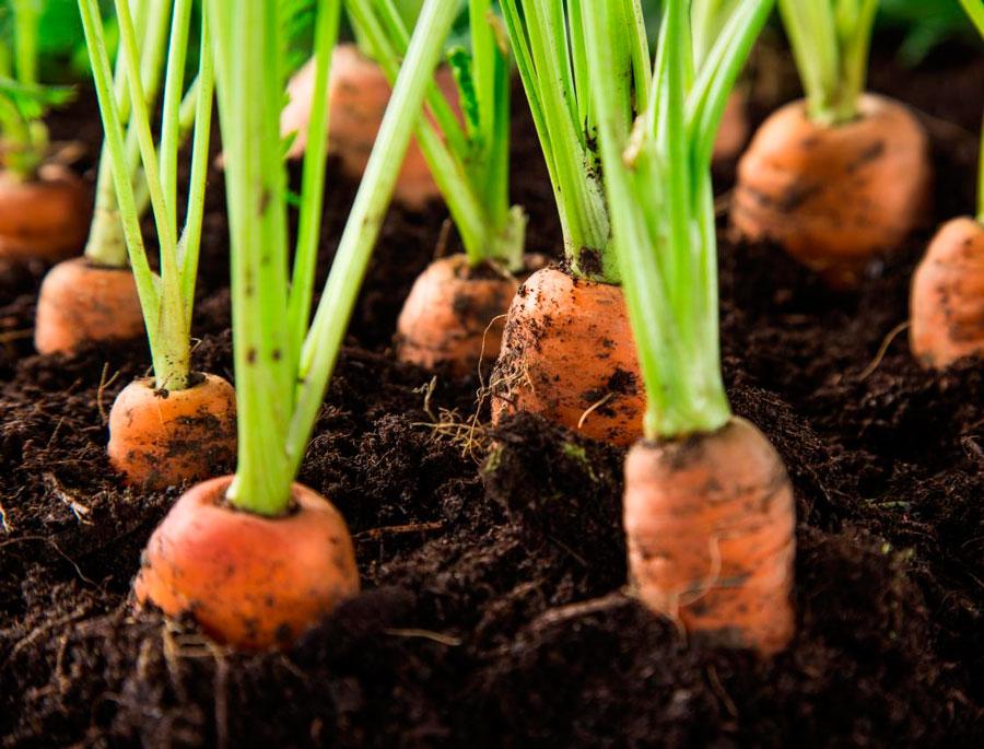 Когда сажать морковь под зиму в 2020 году по лунному календарю и по регионам