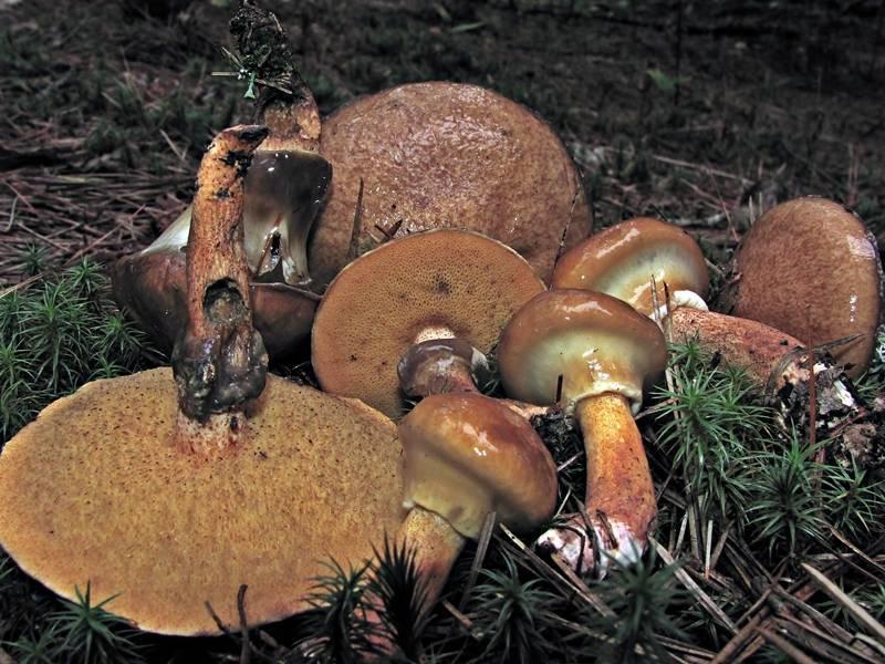 Suillus salmonicolor