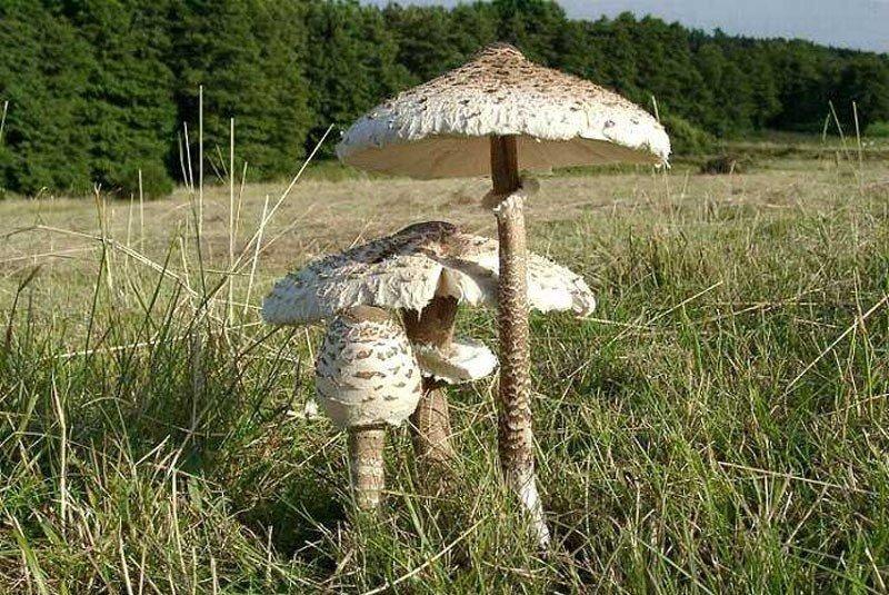 Рост грибов зонтиков