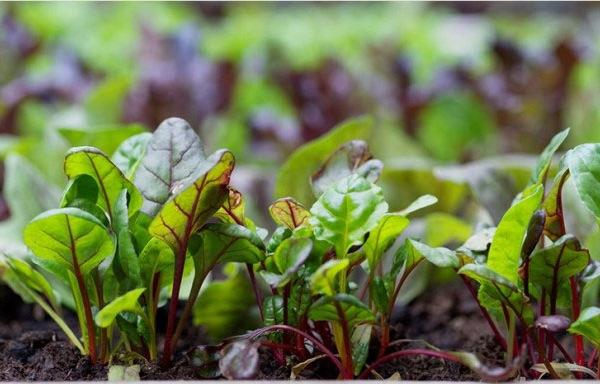 Благоприятные дни для посева свеклы на рассаду