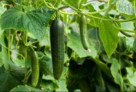 Лучшие новые сорта среднеплодных огурцов