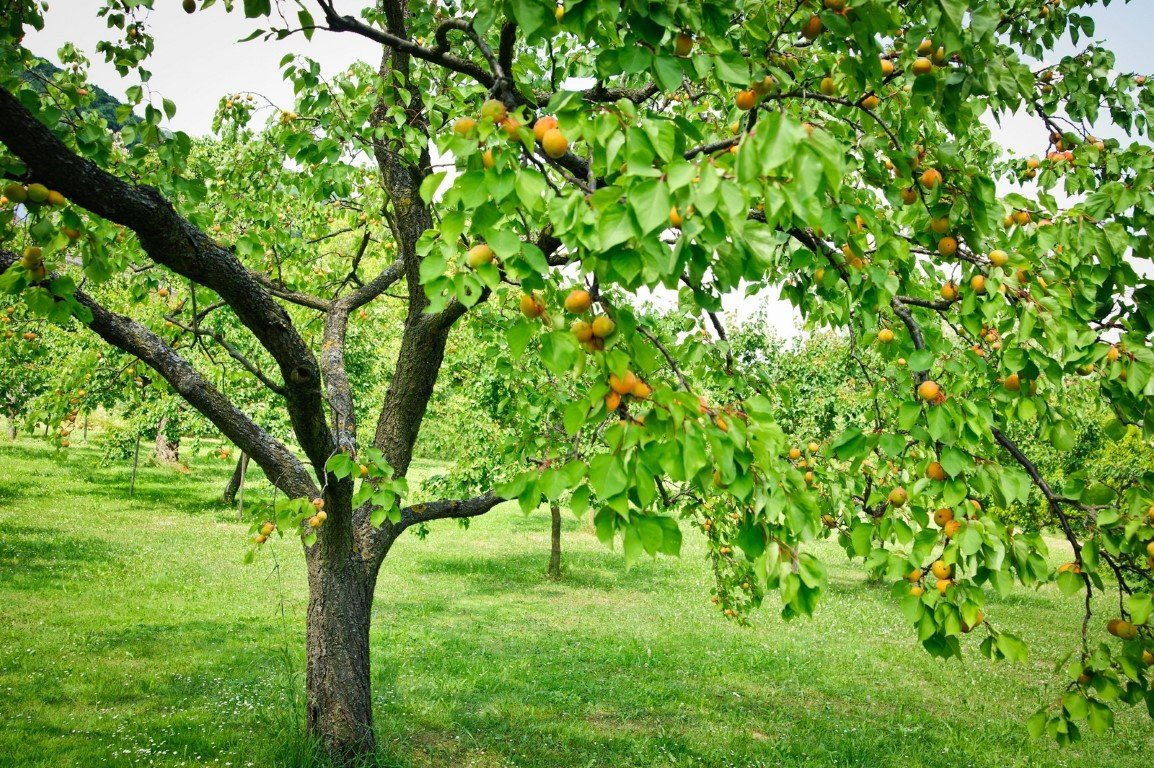 Не плодоносит абрикос