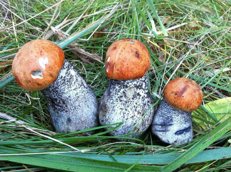Выращивание лесных грибов